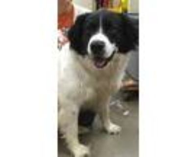Adopt Shep a White - with Black Border Collie / Mixed dog in Amarillo