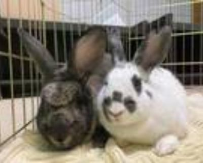 Adopt Pluto a White Other/Unknown / Other/Unknown / Mixed rabbit in Oak Pak