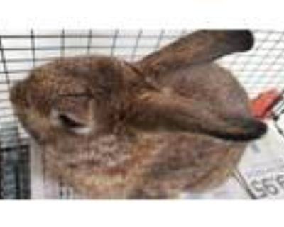 Adopt PETER RABBIT a Bunny Rabbit