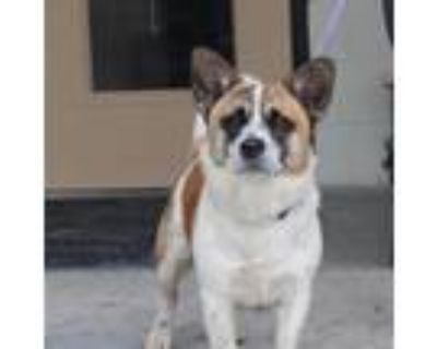 Adopt Franklin a White - with Tan, Yellow or Fawn Welsh Corgi / Mixed Breed