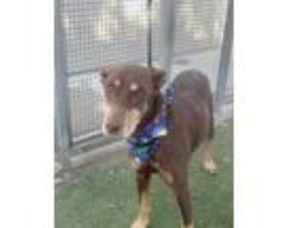 Adopt RED a Red/Golden/Orange/Chestnut Doberman Pinscher / Mixed dog in Los