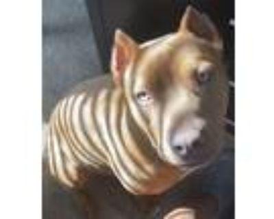 Adopt Nova a Tan/Yellow/Fawn - with Black Labrador Retriever / Bull Terrier /