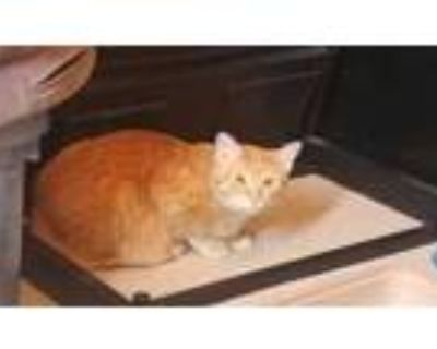 Adopt Colby a Orange or Red Domestic Shorthair / Domestic Shorthair / Mixed cat
