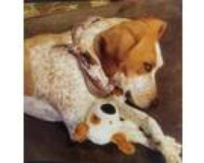 Adopt Aspen a Red/Golden/Orange/Chestnut - with White Redtick Coonhound / Mixed