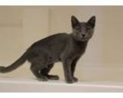Adopt Grace a Gray or Blue Domestic Shorthair cat in Tucson, AZ (32131107)