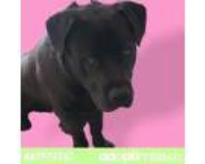 Adopt ZEUS a Brown/Chocolate Pit Bull Terrier / Mixed dog in El Paso