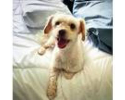 Adopt Faye loves to cuddle! a Poodle