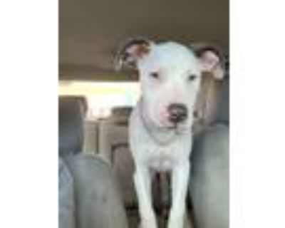 Adopt Alaska a White - with Gray or Silver American Pit Bull Terrier / Labrador