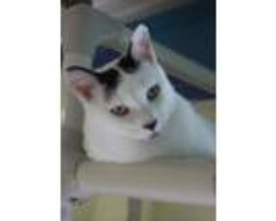 Adopt Dolly a Black & White or Tuxedo Domestic Shorthair (short coat) cat in New