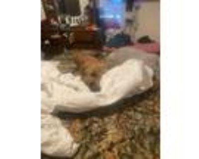 Adopt Bo jangles a Brindle Boxer / Mixed dog in Columbia, MO (31487724)