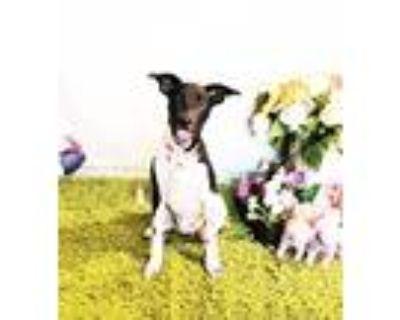 Adopt Janina a White - with Black Labrador Retriever / Mixed dog in Castro