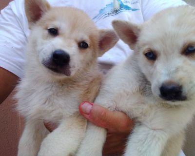 siberian husky puppies el paso texas