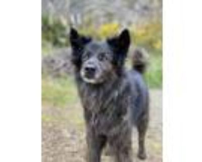 Adopt Madame Z a Black - with Brown, Red, Golden, Orange or Chestnut Keeshond /