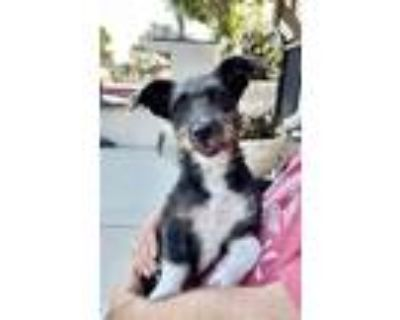 Adopt Autumn a Black - with White Jack Russell Terrier / Dachshund / Mixed dog