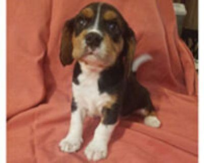 Cavalier King Charles/ Beagle Mix. 8 wks 2 males