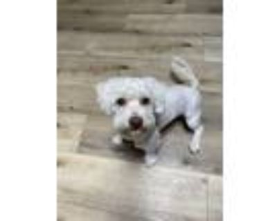 Adopt Badger a White Bichon Frise / Havanese / Mixed dog in Beverly Hills