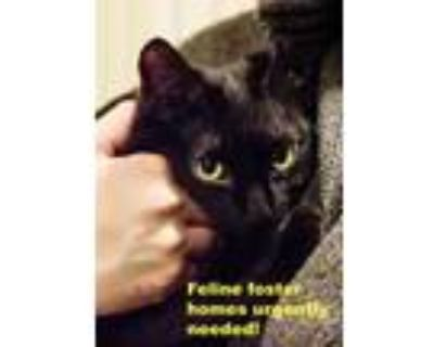 Adopt Cat Foster Homes Urgently Needed a Domestic Short Hair