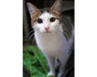 Adopt Loli a White Domestic Shorthair / Domestic Shorthair / Mixed cat in