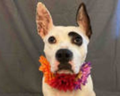 Adopt DAVINA a White - with Black American Pit Bull Terrier / Mixed dog in