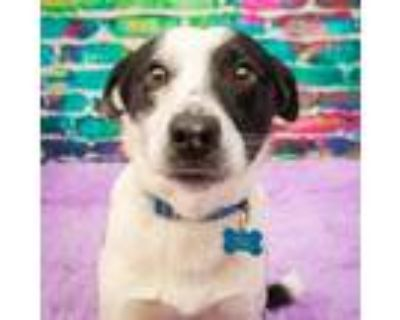Adopt Jack Regal a White - with Tan, Yellow or Fawn Border Collie / Mixed dog in