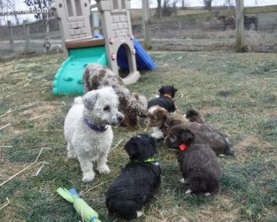 Designer Breed Small Puppy for Sale - Havashire