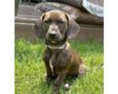 Adopt Momo a Dachshund, Labrador Retriever