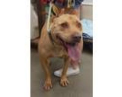 Adopt Peanut a Tan/Yellow/Fawn - with White Pit Bull Terrier / Mixed dog in