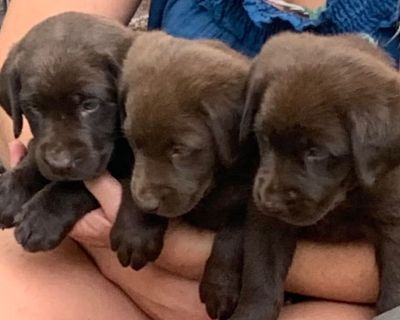 Versatile Hunting Labrador Retriever Puppies -
