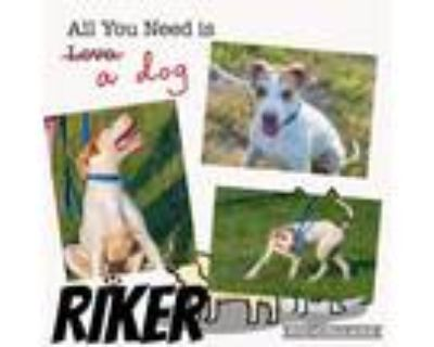 Adopt Riker a White - with Tan, Yellow or Fawn Setter (Unknown Type) / Mixed dog