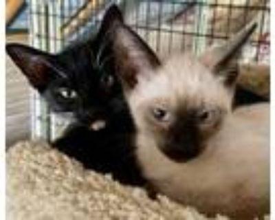 Adopt Star Wars Kittens a Domestic Short Hair, Siamese