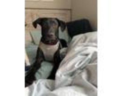 Adopt Emma a Labrador Retriever / Shepherd (Unknown Type) / Mixed dog in Little