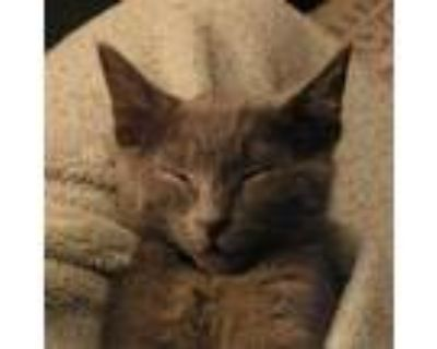 Adopt Abbie (aka Twitch) a Gray or Blue Domestic Shorthair / Mixed cat in