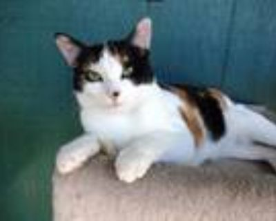 Adopt Cameo a Calico or Dilute Calico Domestic Shorthair (short coat) cat in