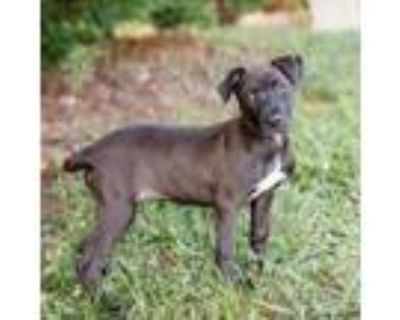 Adopt Janice 11053 a Black Labrador Retriever / Pit Bull Terrier / Mixed dog in