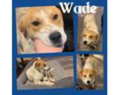 Adopt Wade a White - with Red, Golden, Orange or Chestnut Great Pyrenees / Blue