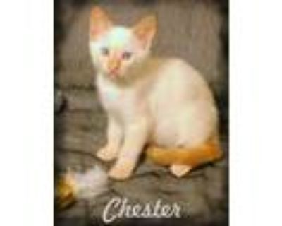 Adopt Chester a White (Mostly) Siamese / Mixed (short coat) cat in Anaheim