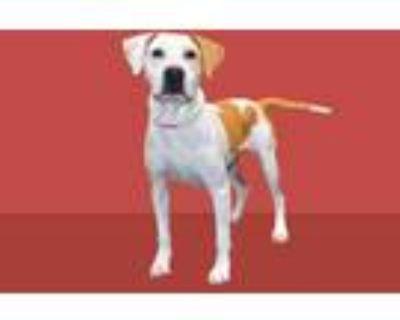Adopt CATERA a White - with Tan, Yellow or Fawn Labrador Retriever / Mixed dog