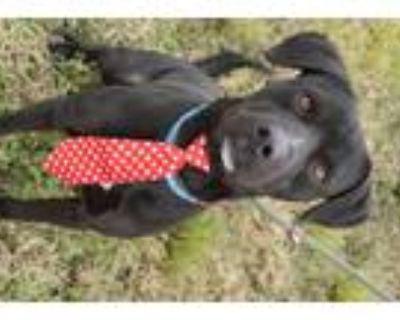 Adopt Bambi a Labrador Retriever / Boxer / Mixed dog in Abbeville, LA (29941671)