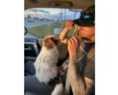 Adopt Gizmo a Brown/Chocolate - with White Terrier (Unknown Type