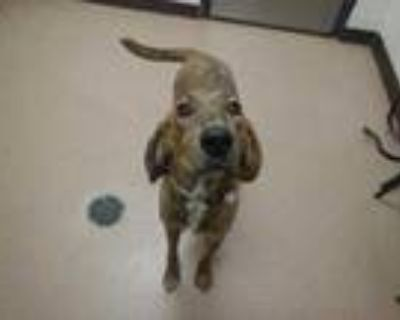 Adopt Spur a Tan/Yellow/Fawn Plott Hound / Mixed dog in Boulder, CO (31933496)