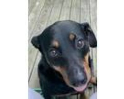 Adopt Frankie (Sweetie) a Rottweiler / Mixed dog in Akexandria, VA (31906979)