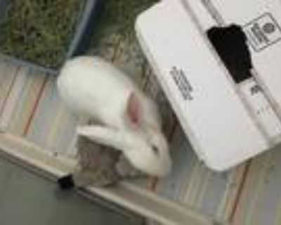 Adopt Lewis a Albino or Red-Eyed White New Zealand / Mixed (short coat) rabbit