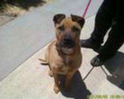 Adopt ROXY a Labrador Retriever, Shar-Pei