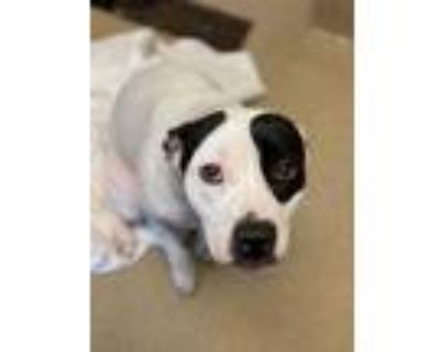 Adopt Anthem a White American Pit Bull Terrier / Mixed dog in Newport News