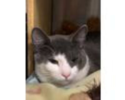 Adopt Ned a Gray or Blue (Mostly) Domestic Shorthair (short coat) cat in
