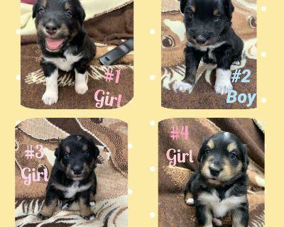 ASCA/AKC Australian Shepherd Puppies