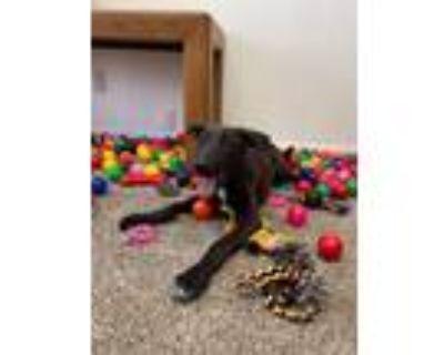 Adopt Frankie a Labrador Retriever, Shepherd