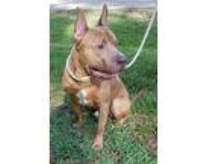 Marvel, American Staffordshire Terrier For Adoption In Houston, Texas