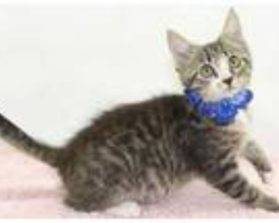 Adopt Shandy (Main Campus) a Brown or Chocolate Domestic Shorthair / Domestic