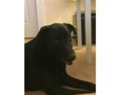 Adopt Ziggy a Black Labrador Retriever / Xoloitzcuintle/Mexican Hairless / Mixed